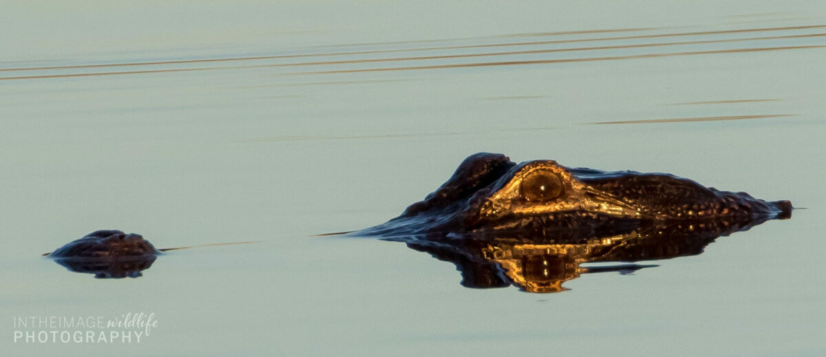 In the Image Wildlife Photography Florida Gator